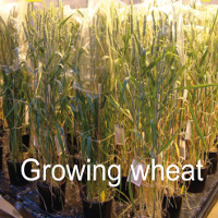 Growing_wheat_main_icon